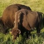 2019-08-07 More Bison